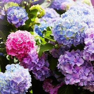 Ekstrakt lišća hortenzije pozitivno utječe na zdravlje kože